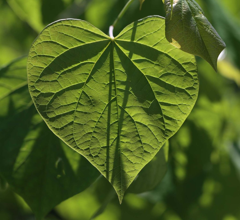 HeartLeaf